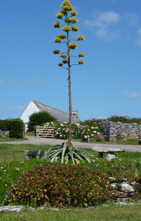 La dernière agave du lavoir de Kergoff